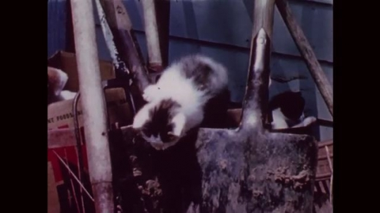 UNITED STATES: 1950s: puppy watches kittens in yard. Kittens play in yard.