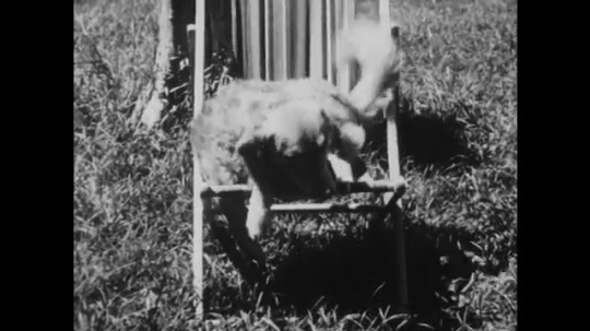 1950s: UNITED STATES: dog sits on deck chair. Water on chair from dog. Dog in kennel.