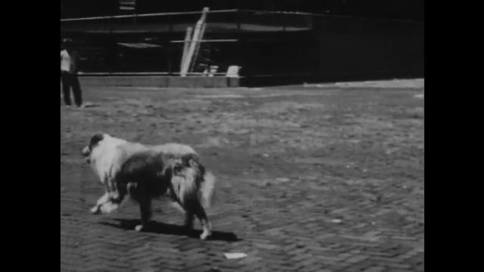 1950s: UNITED STATES: dog walks in yard. Children play in yard. Dog attacks. Man breaks up fight