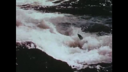 UNITED STATES: 1960s: salmon jump up waterfall. Fish jumps in water. Salmon swims upstream