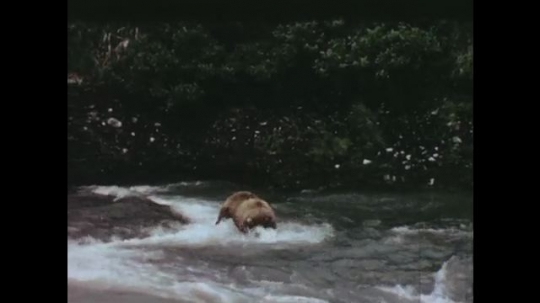UNITED STATES: 1960s: Bear walks in stream. Bear catches salmon. Reservoir with fishways and ladders. Salmon swim upstream.