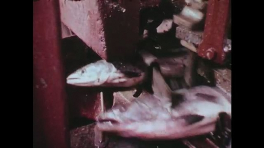UNITED STATES: 1960s: chink machine cuts heads of fish in cannery. Hands put fish on conveyor belt.