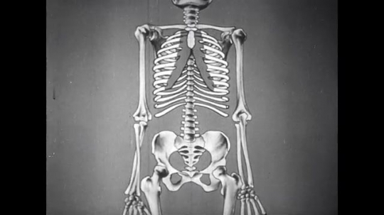 UNITED STATES: 1950s: animation of internal organs and rib cage from front.