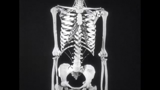 UNITED STATES: 1950s: model of skeleton.