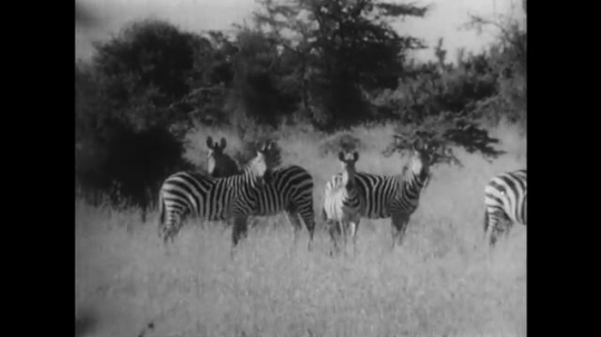 AFRICA: 1930s: zebra run across grass. Expedition vehicle drives along track towards herd
