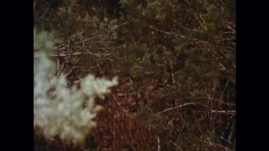 UNITED STATES: 1970s: boy walks through woods.