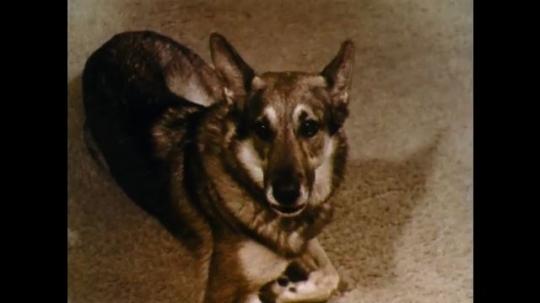 UNITED STATES: 1960s: German Shepherd dog watches lady. Lady puts on eye shadow