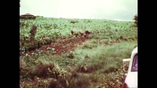 UNITED STATES: 1960s: women pick crops in field. Workers in field.