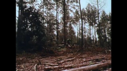 UNITED STATES: 1970s: felled trees in forest. Tree falls to ground. Boy sits by river cutting wood with knife.