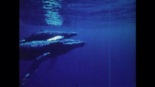 1970s: UNITED STATES: whale and calf under sea.