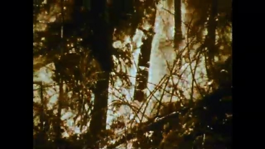 1970s: fire burns forest in huge inferno. smoke covers black tree logs in charred woods.
