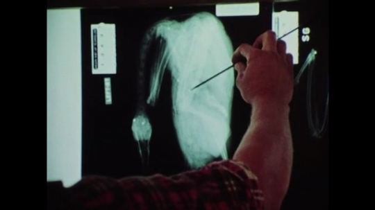 1980s: Man points to x-ray of bird, zoom in. Dead birds on table, hand holds ruler, writes on paper. Men look at x-rays. Close up of x-ray.