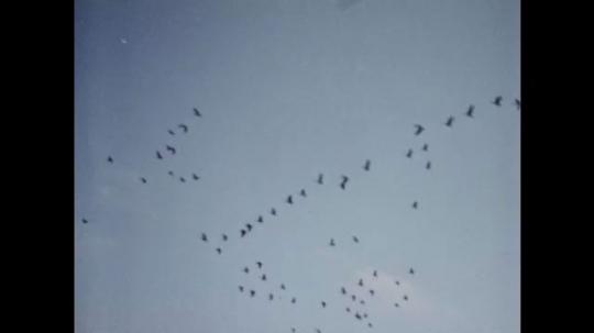 1980s: Birds fly overhead. Men standing with decoy geese. Birds flying. Man loads shotgun. View of decoys.