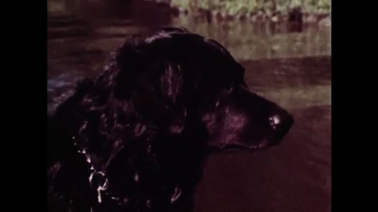 1980s: Close up of dog, pan to men on boat. Birds flying over water. Tracking shot of marsh. Men throw decoys from boat.