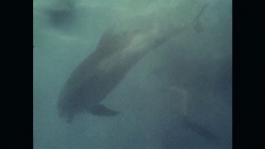 1970s: Dolphin swims with diver. Man with dolphin at surface. Dolphin swimming. Dolphin jumps, images freezes. Fade in, diver underwater, dolphin in background.
