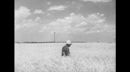 1950s: man walks in field, machine harvests wheat