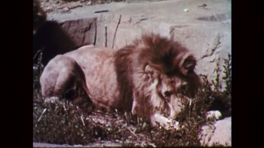 1950s: Lion lays in grass, eats, licks lips. Two lions walk around enclosure.