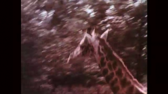 1950s: Baby giraffe runs around enclosure, people sit behind fence and watch.