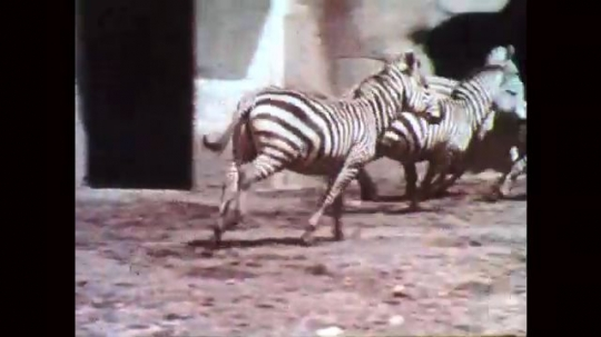 1950s: Zebras run around enclosure. Children stand behind fence and point. Baboons run on rocks, mountain goats stand on rocks.