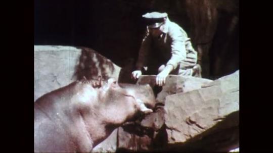 1950s: Hippopotamus opens mouth wide. Zookeeper looks into hippopotamus