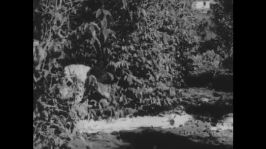 1930s: Two people unfold big cloth on the ground under trees. People harvest coffee berries and put them on the cloth.