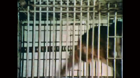 1970s: Monkey runs back and forth in cage.  Monkey does flips.  Men in lab coats look at papers.  Man stands.  Man sits.