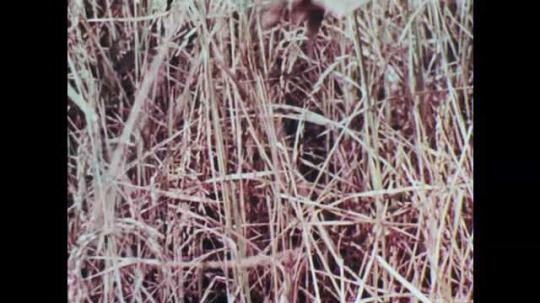1950s: Hand picks rice plants. Logs crush rice plants. Women and girls pound rice into flour. Men stamp on grain.