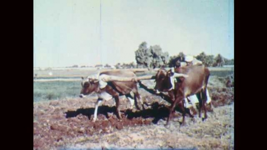 1950s: EGYPT: Man with cows in field. Man plows field by Nile. Livestock on farm. House by Nile