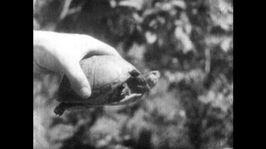 1940s: Hand holds turtle.  Turtle emerges from shell.  Stick pokes turtle until it hides in shell.  Hand turns turtle around.