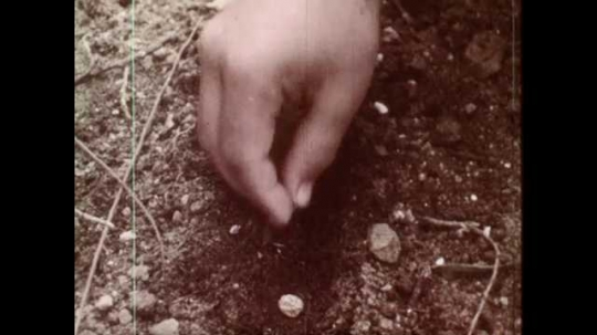 1960s: UNITED STATES: hand plants seeds in soil. Seeds in row. Hand covers seeds with soil. Hand tidies away twigs
