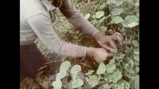 1960s: UNITED STATES: hands pick seeds from plant in garden. Boys picks seeds from garden. Seeds in jar