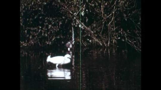 1940s: Bird wading in water. Crocodile in water. Bird flies to shore. Owl looks through hole in tree. Woodpecker on tree. Porcupine walking through grass.