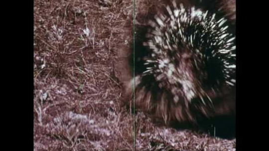 1940s: Stick hits porcupine on tail. Close up of quill. Bees on flowers. Magnified view of stinger.