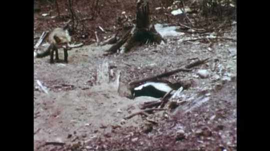 1940s: Fox fighting with skunk, fox runs away. Caterpillar on branch. Close up of caterpillar.