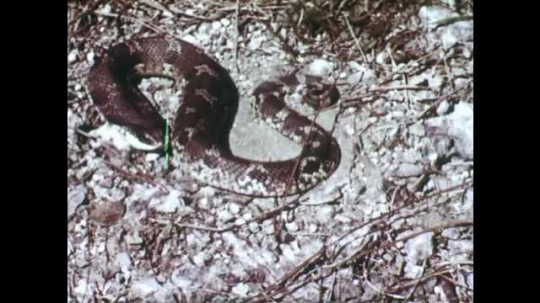 1940s: Snake on ground. Snake hissing. Rattlesnake shaking tail. Close up, hands hold rattle snake head.