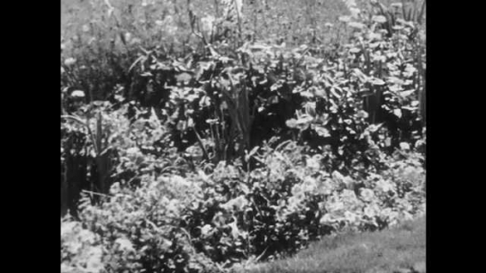 1950s: UNITED STATES: view across garden in spring. Garden in summer. Hands pull up plant from soil. Roots of plant