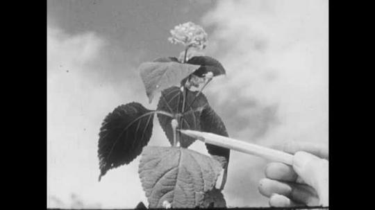 1950s: UNITED STATES: pencil points at stem of plant. Close up of plant leaf. Leaf in sunshine. Flower on plant.