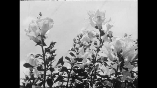 1950s: UNITED STATES: flower on plant. Girl looks at flowers in garden. Girl in garden by house