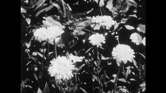 1950s: UNITED STATES: flowers in garden. Parts of a flower. Hand holds sepals on plant. Label for sepals. Sepals form circle around blossom