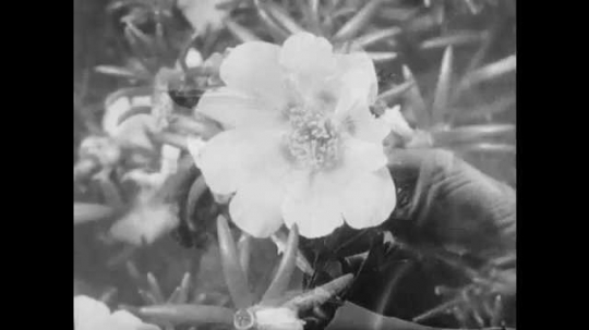1950s: UNITED STATES: finger points at petals on flower. Label for petals. Stamens on plant. Label for stamens. Pollen dust on flower