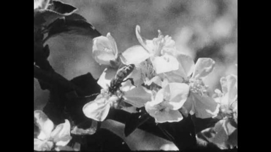 1950s: UNITED STATES: bee on blossom. Bee collects pollen from flower. Drawing of flower and pollen transport