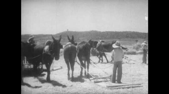 1940s: MEDITERRANEAN: workers in field. Men drag boards across field. Cows work field