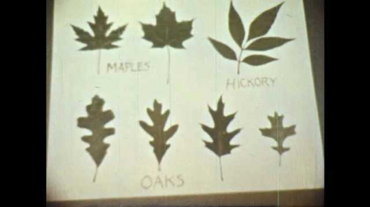 1950s: Leaf display on poster board. Pine tree. Pine needles and limbs sway in breeze. Clover leaves.
