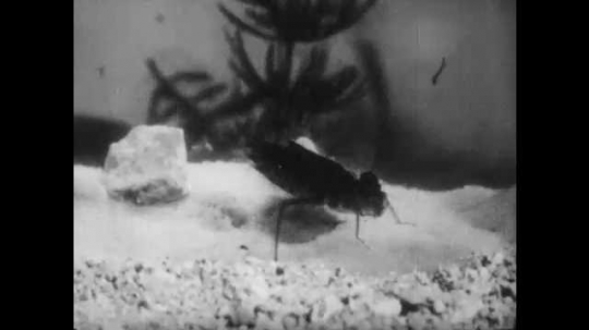 1950s: Dragonfly nymph hunts mosquito larvae underwater, catches larvae, eats larvae.