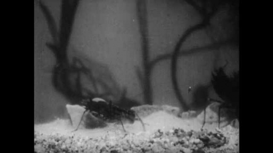 1950s: Dragonfly nymph sits on rock underwater. Nymph climbs out of water, onto leaf.