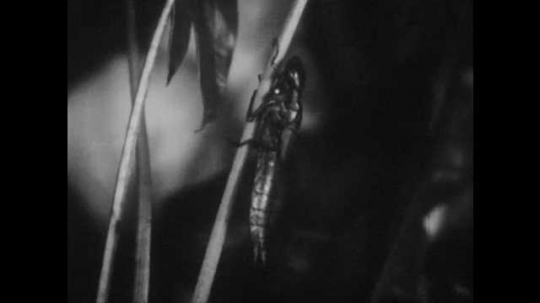 1950s: Dragonfly nymph crawls onto leaf stem, sheds casing. Adult dragonfly spreads wings, sits on leaf.