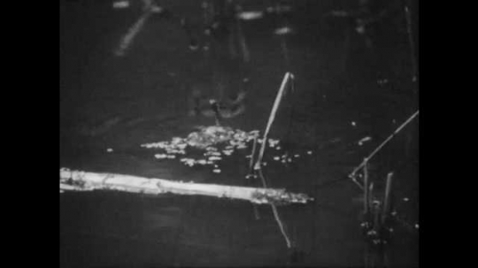 1950s: Female dragonfly lays eggs in pond. Mayfly nymph sits on rock underwater.