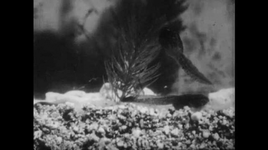 1950s: Tadpoles swim around bottom of pond. Tadpole with rear legs sits on rock underwater. Tadpole with four legs sits on rock underwater.