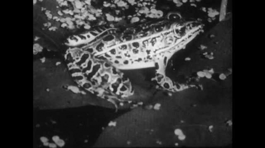 1950s: Frog sits on a lily pad on surface of pond. Frog sits on a log, hunts mayfly, catches mayfly, eats mayfly.
