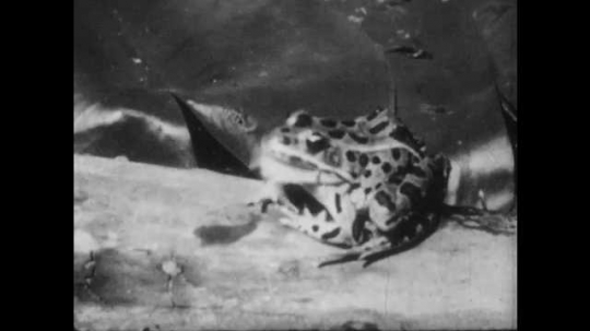 1950s: Frog sits on a log, eats insect. Mayfly on surface water of pond. Fish swims up, eats mayfly from water